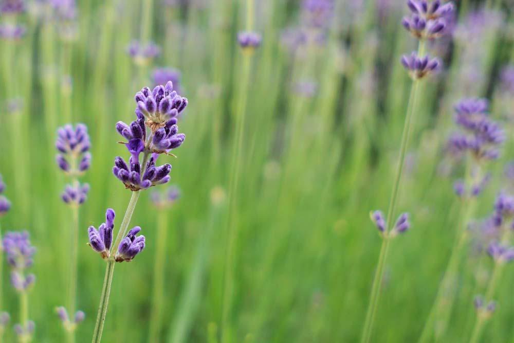 pexels-photo-458943-lavender-reversed-1000-web